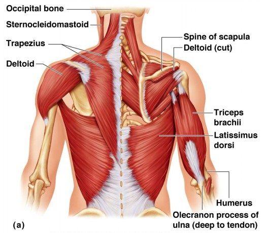 معرفی ۶ گروه عضلانی اصلی
